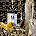 The Yellow Chicken by Image Takers Photography LLC - Carol Haddon