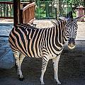 The Zebra by Andrew Matwijec