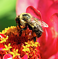 The Zinnia And The Bee by Optical Playground By MP Ray