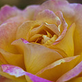 There's Nothing Like The Beauty Of A Rose  by Saija  Lehtonen