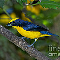 Thick-billed Euphonia by Anthony Mercieca