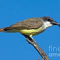 Thick-billed Kingbird Tyrannus by Anthony Mercieca