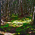 Thicket-like Woods And Spongy Moss Near Lobster Cove In Gros Mor by Ruth Hager