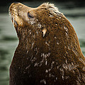 Things Are Looking Up-sealion by David Millenheft