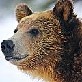 Thinking Bear by Brenda Boyer