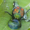 Thirsty Beetle by Mircea Costina Photography