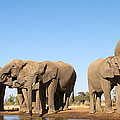 Thirsty Elephant Herd by Max Waugh