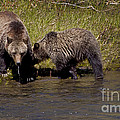 Thirsty Grizzlies  #3418 by J L Woody Wooden