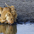 Thirsty Lions by Marc Levine