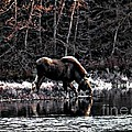 Thirsty Moose Impressionistic Digital Painting by Barbara Griffin
