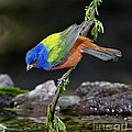 Thirsty Painted Bunting by Anthony Mercieca
