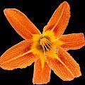 This Orange Lily by Steve Gadomski