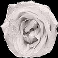 This White Rose by Steve Gadomski