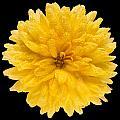This Yellow Chrysanthemum by Steve Gadomski
