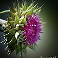 Thistle 14-3 by Maria Urso