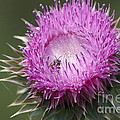 Thistle And The Bee by Tannis  Baldwin