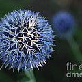 Thistle Bloom 2 by Kenny Glotfelty