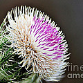 Thistle Bloom by Davids Digits