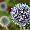 Thistle Bloom by Kenny Glotfelty