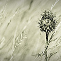 Thistle - Dreamers Garden Series by Marco Oliveira