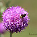 Thistle And A Bee by Ericamaxine Price
