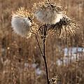 Thistle Fluff by Valerie Kirkwood