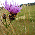Thistle In A Swiss Field by Antique Images