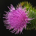 Thistle While You Work by Karl Anderson