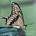 Thoas Swallowtail Butterfly by Heiko Koehrer-Wagner