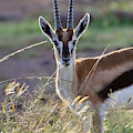 Thomson's Gazelle (gazella Thomsoni by Keren Su