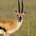 Thomsons Gazelle by John Shaw