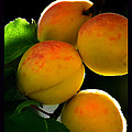 Those Glowing Golden Apricots by Susanne Still