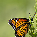 Those Magnificent Monarchs - Danaus Plexippus by Kathy Clark