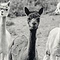 Three Alpaca Friends by Peter v Quenter