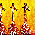 Three Amigos Giraffes Looking Back by Jerome Stumphauzer