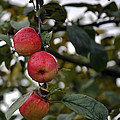Three Apples by Tikvah's Hope