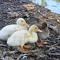 Three Baby Ducks by Diana Haronis