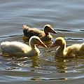 Three Baby Ducks Swimming by Diana Haronis