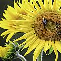 Three Bees On A Sunflower by Fran Gallogly