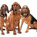 Three Bloodhound Dogs Isolated On White by Susan Schmitz