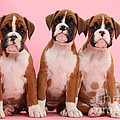 Three Boxer Puppies by Mark Taylor