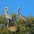 Three Brown Pelicans by Denise Mazzocco