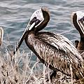 Three Brown Pelicans by Photographic Art by Russel Ray Photos