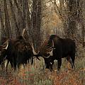 Three Bull Moose Sparring by Jeff Swan