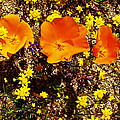 Three California Poppies Among Goldfields In Antelope Valley California Poppy Reserve by Ruth Hager