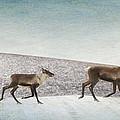 Three Caribous by Priska Wettstein