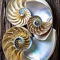 Three Chambered Nautilus by Garry Gay