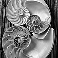 Three Chambered Nautilus In Black And White by Garry Gay