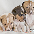 Three Collie Puppies by Martin Capek