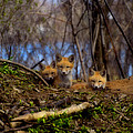 Three Cute Kit Foxes At Attention by Thomas Young